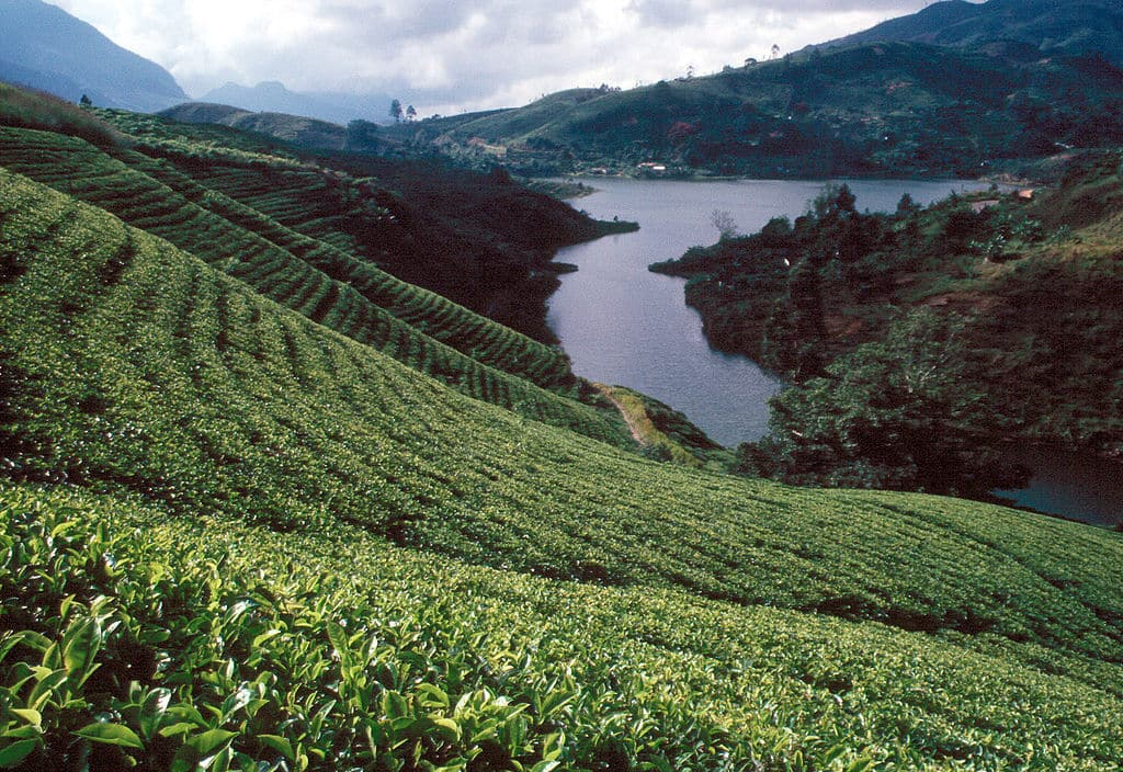 Herman Tea Estate - Handunugoda Tea Estate by Dr. Wolfgang Beyer via Wikimedia Commons