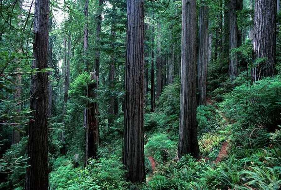 Redwood National Parks by NPS Photo, Public Domain, Wikimedia Commons