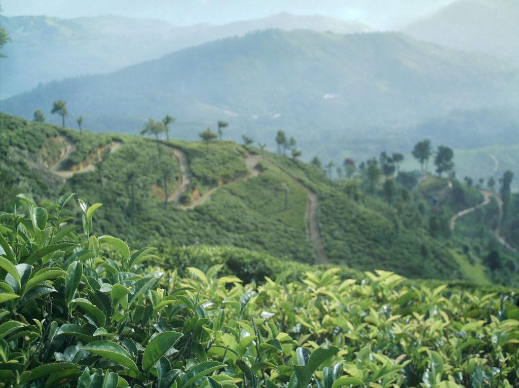 Tea Estate by Chaminda Bandara (via publicdomainpictures.net)